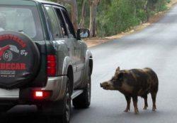 Sinistro stradale a causa del cinghiale? Spetta alla Regione risarcire i danni perché non ha fatto nulla per evitarlo. E' l'ente che deve vigilare sulla fauna selvatica.