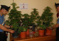 Venafro. Piante di marijuana sul terrazzo di casa, giovane denunciato: sotto sequestro dosi di hashish, bilancino di precisione e due coltelli.