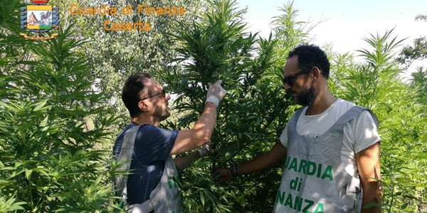 pignataro-finanza-droga-marijuana_cr