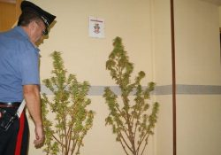 Pontelandolfo, piante di cannabis in un terreno demaniale: tre denunce