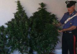 Morcone. Sorpresi ad innaffiare 7 piante di cannabis indica senza autorizzazione: arrestati tre giovani del posto.