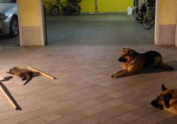 Macerata Campania.  25 cani, tra cui 22 pastori tedeschi, 1 pitbul, 1 meticcio e 1 weimaraner allevati nei bagagliai di auto e garage di casa. Denunciato l'affittuario.