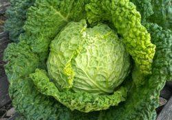 Frutta e verdura di stagione: la verza depura le vie respiratorie ed è un toccasana per la pelle.