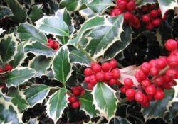 Il vischio e festività natalizie: simbolismo, ma anche antica pianta officinale
