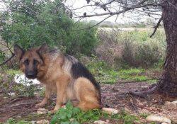 """Pozzilli / Venafro. Furto sventato grazie ai cani da guardia: malviventi messi in fuga dai """"sorveglianti""""."""