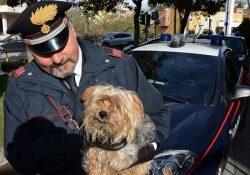 Sesto Campano. Auto in corsa scaraventa a terra lungo la strada provinciale cagnolino meticcio di piccola taglia, tratto in salvo dai Carabinieri: l'autore rischia un anno di carcere.