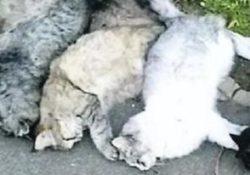 CALVI RISORTA. La strage dei gatti, da giorni carcasse di piccoli felini randagi disseminati sui marciapiedi: si ipotizza un avvelenamento.