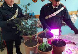 Torrecuso. In casa un'autentica piantagione di marijuana: denunciato 29enne e sequestrato tutto il materiale.