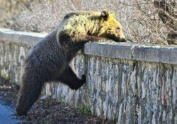 Rionero Sannitico. Ancora un orso di piccola taglia nelle vicine montagne: allertata la Forestale. IL VIDEO DELL'AVVISTAMENTO.