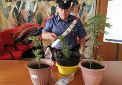 Longano. Tre piante di cannabis sequestrate dai Carabinieri.