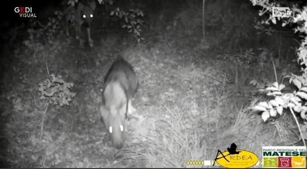 Cinque lupi in fila indiana percorrono i sentieri del Matese: la clip dalla videotrappola
