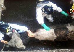 San Salvatore Telesino. Una mucca finisce in una vasca di liquami: tratta in salvo dai vigili del fuoco.
