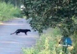 Pietrelcina / Pesco Sannita. Un animale feroce in giro per le campagne del paese: rinvenute impronte e peli, inviati a Rieti per l'esame Dna.
