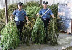 Caserta / Provincia. 250 kg di marijuana sequestrata dai carabinieri: arrestate 3 persone.