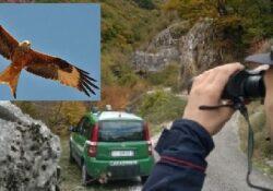 Isernia / Provincia. Uccide un nibbio reale: bracconiere scoperto e denunciato dai carabinieri forestali.