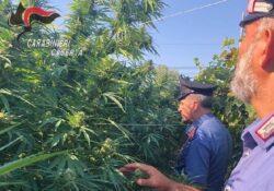 Sessa Aurunca / Cellole. 86 piante di marijuana sequestrate e 69enne arrestato alla frazione Lauro di Sessa.