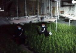 Puglianello. 2mila e 500 piante di marijuana in un capannone della zona industriale: la scoperta da un normale controllo su un allaccio abusivo di corrente elettrica.