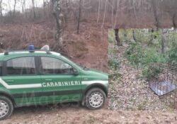 GIANO VETUSTO / CALVI RISORTA. Sequestro preventivo di un gabbione / trappola artigianale per la cattura illegale di cinghiali vivi: operazione dei Carabinieri Forestale.