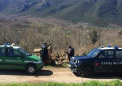 MIGNANO MONTE LUNGO / VAIRANO PATENORA. Bosco ceduo interessato da taglio di utilizzazione in assenza di autorizzazione: i sequestri dei carabinieri forestali.