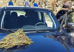 Caserta / Provincia. Campagna controlli prevenzione incendi boschivi: Carabinieri Forestali sequestrano 87 kg di asparago selvatico.