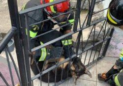 Fornelli. Recupero cucciolo di pastore tedesco incastrato tra le sbarre di un cancello grazie ai Vigili del Fuoco.