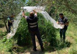 TEANO / SESSA AURUNCA. I finanzieri scovano piante di cannabis in un terreno: arrestato in flagranza 26enne proprietario del fondo.