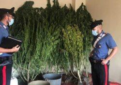 Solopaca. Scoperto ad innaffiare piantagione di marijuana: arrestato 25enne.
