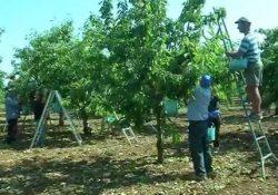 CAIANELLO. Provvedimento d'arresto per un 22enne extracomunitario della Guinea, aveva rubato una donna durante la raccolta delle ciliegie: era già in carcere per diversi furti.