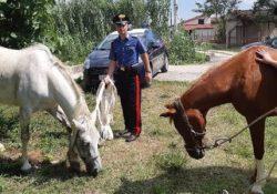 Sesto Campano. Ricettazione di cavalli, coppia di casertani incastrata dai Carabinieri. Equini recuperati e restituiti ai legittimi proprietari.