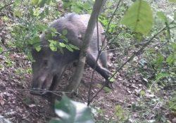 PIETRAVAIRANO / VAIRANO PATENORA. Cinghiale adulto rimasto intrappolato in un laccio: i Carabinieri Forestali hanno provveduto a far liberare l'animale.