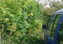 """TEANO. Coltivazione clandestina di 220 piante di Marijuana in località """"Passarelle"""": beccato un napoletano, un albanese e due russe."""
