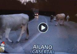 """AILANO. La """"mandria Fantasma"""" delle mucche volanti è ancora qua!"""