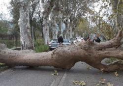 Moiano / Airola. Maltempo, ingenti danni in Valle Caudina: pioppo secolare cade su strada.