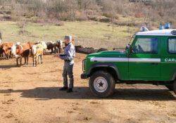Venafro / Isernia. Carabinieri Forestali in azione: contrasto al pascolo abusivo, alla gestione illecita dei rifiuti e al commercio illegale di legname e derivati.