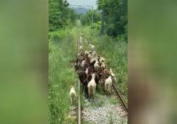PIEDIMONTE MATESE / DRAGONI. Caprette al pascolo sui binari della ferrovia alifana: treno a passo d'uomo e ritardo negli arrivi.