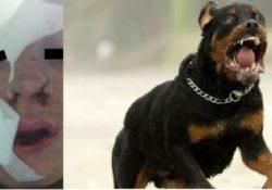 Agnone. Il veterinario per operare il rottweiler si fa assistere anche dal padroncino di 15 anni: il cane, allucinato, lo azzanna al volto.
