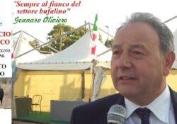 BAIA E LATINA / ALIFE. Settore bufalino, ecco i contributi una tantum a fondo perduto: l'annuncio del consigliere regionale Gennaro Oliviero.
