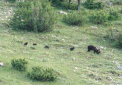 Parco Nazionale d'Abruzzo, Lazio e Molise: avvistata per la prima volta un'orsa marsicana con quattro cuccioli.