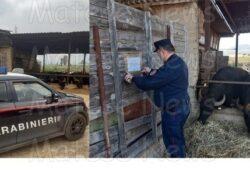 FORMICOLA / CAPUA. Sequestrato complesso aziendale bufalino per illecito smaltimento di reflui zootecnici: operazione dei carabinieri forestali.