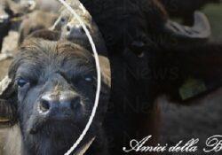 Caserta / Provincia. Amici della bufala invita sindaci del casertano ad istituire tavolo tecnico.